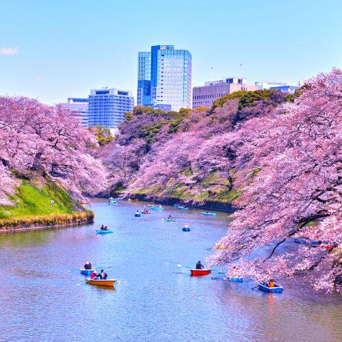 tokyo-cherry-blossoms